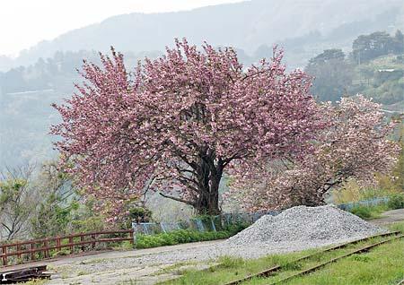 sakura_20120501.jpg